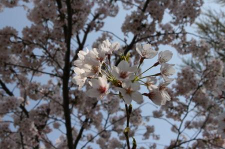 20090407saku (1)