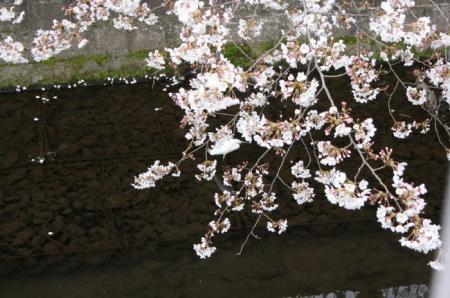 20090331sakura (1)