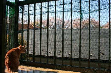 20090410sakura (1)