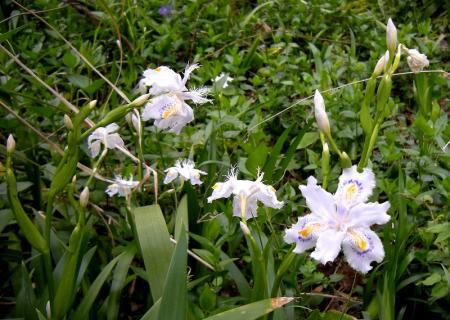 2009.3.29虎尾桜 004