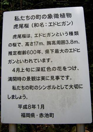 2009.3.29虎尾桜 019