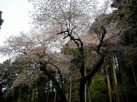 2009.3.29虎尾桜 036