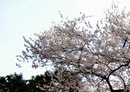 2009.3.29虎尾桜 0