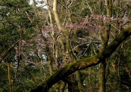 2009.3.29虎尾桜 051