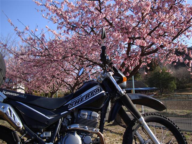 早咲き桜とシェルパ