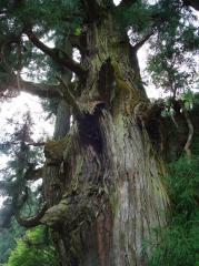 大杉・・・杉の精霊が宿ってる雰囲気