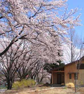 H210315昨年の桜