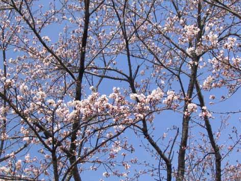 H210408桜