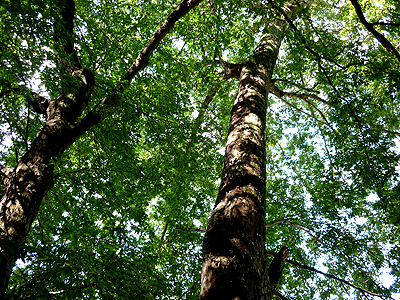 立派な巨木