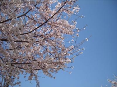 sakura20093-.jpg