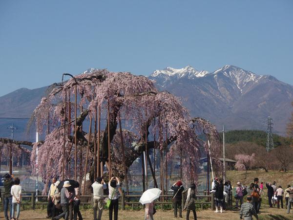 大糸桜&八ケ岳
