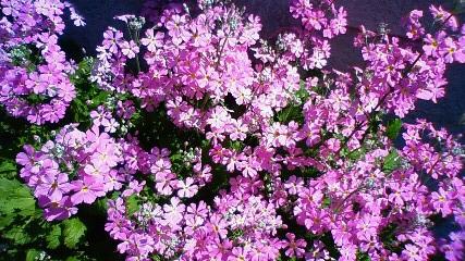 桜草 満開