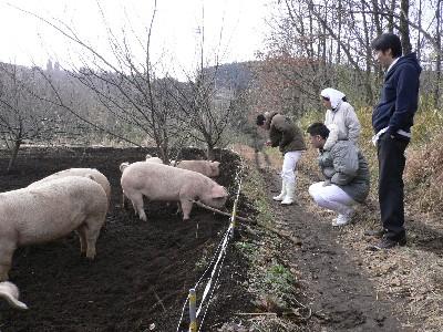走る豚の見学
