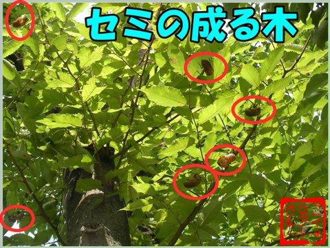 XSセミの成る木