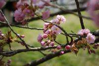 京都府庁のしだれ桜がこの時期だけ一般公開されてます