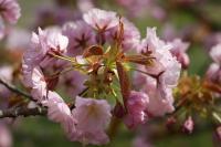 府庁の枝垂桜は応えありますよ