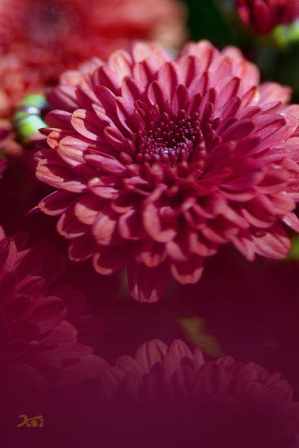 小菊の里06