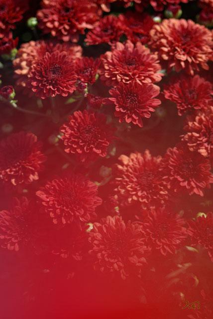 小菊の里07