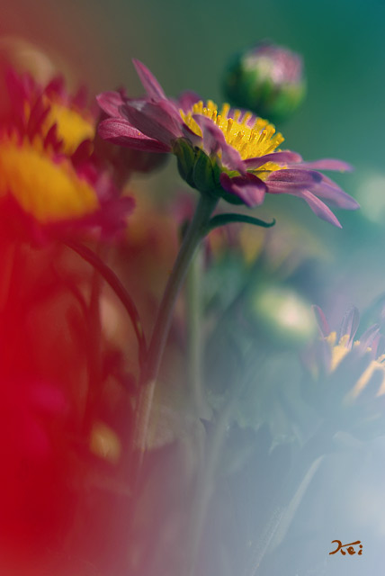 小菊の里09