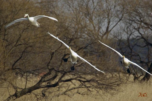 090207白鳥01