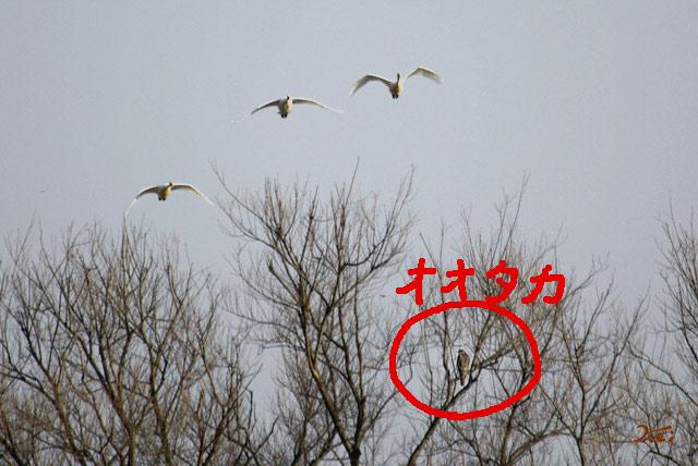 090207白鳥03