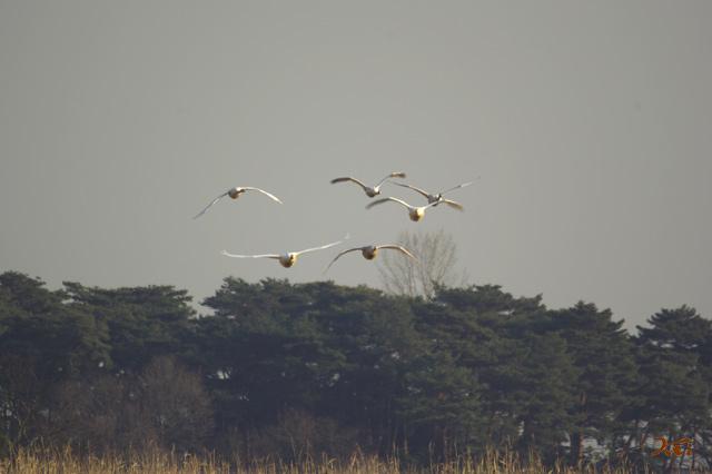 090207白鳥06