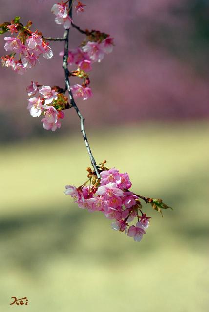 090307河津桜12