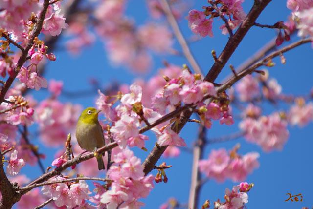 090307桜メジロ02