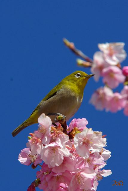 090307桜メジロ06