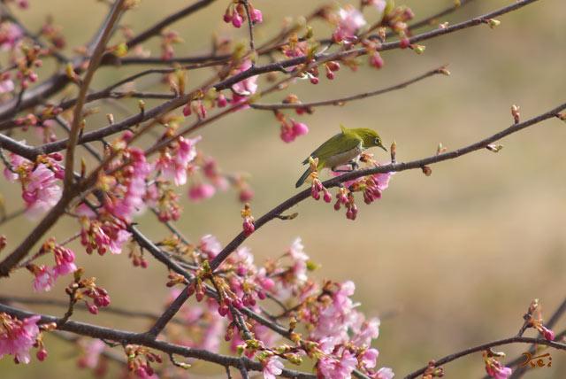 090307桜メジロ07