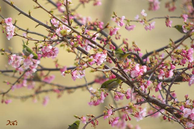 090307桜メジロ08