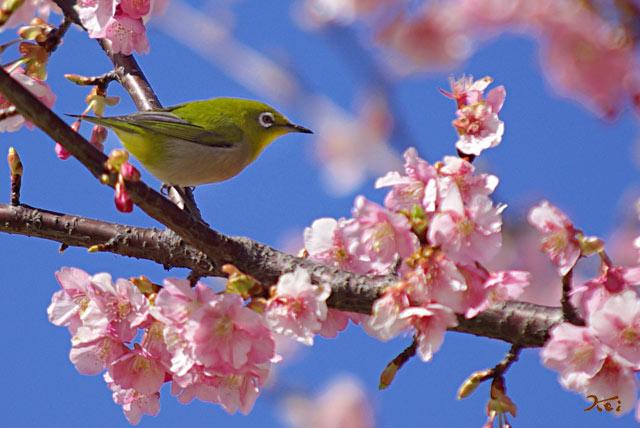 090307桜メジロ01