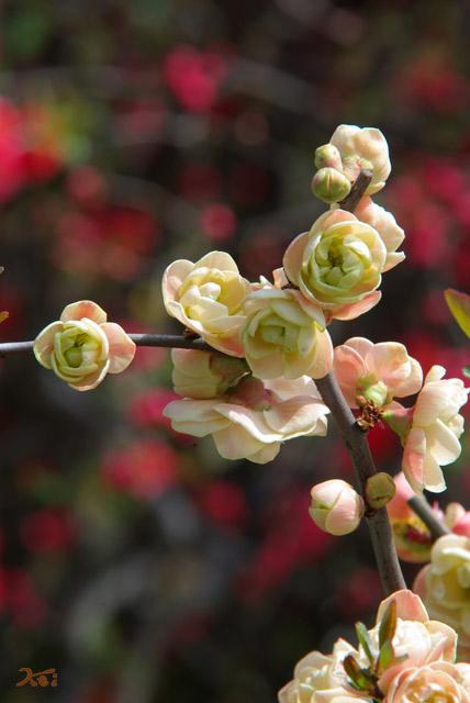 090328枝垂れ桜05