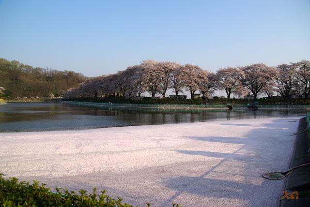 090412桜_鹿の川沼01