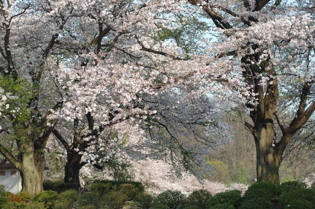 090412桜_鹿の川沼03