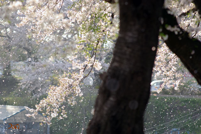 090412桜_鹿の川沼04