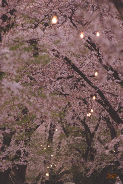 090412桜_鹿の川沼08