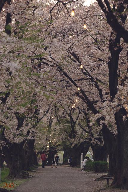 090412桜_鹿の川沼09