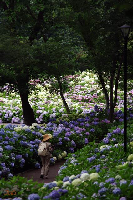90711紫陽花02