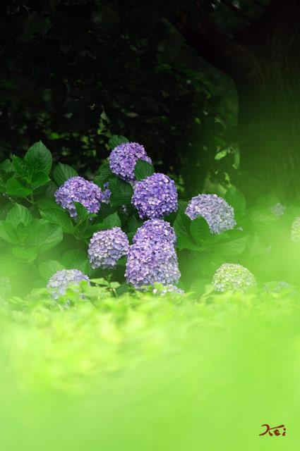 90711紫陽花11