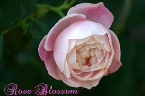 薔薇の芽吹き