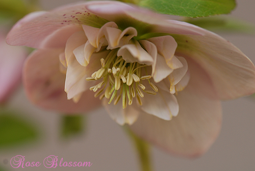 pinksemi0213.jpg