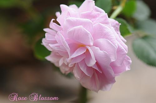 rose4011.jpg