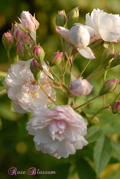 roza1106.jpg