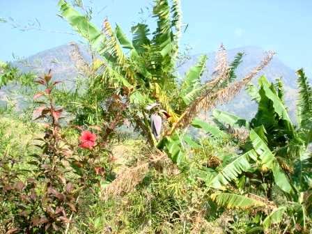 花バナナ山中2