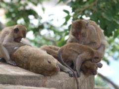 フアヒン気持ちよさそうな猿