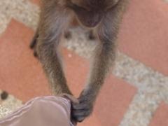 フアヒンすりよる猿