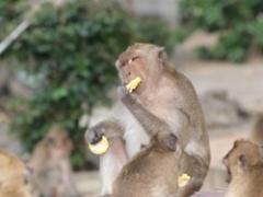 フアヒンコーン猿