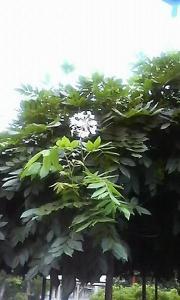 20080609 藤は二度咲く?3