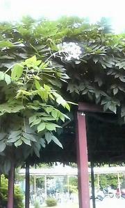 20080609 藤は二度咲く?2